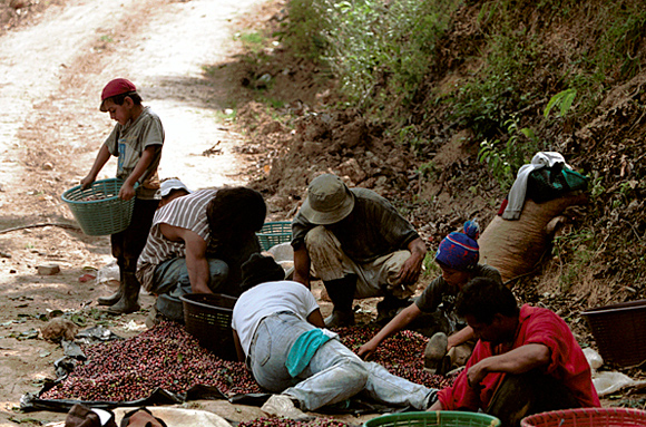 photograph: sorting coffee berries in Costa Rica