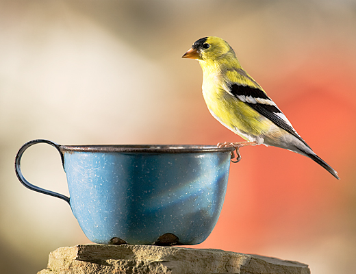 photograph: American Goldfinch