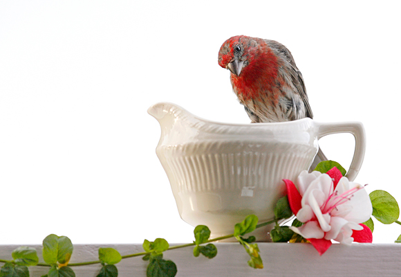 photograph: House Finch